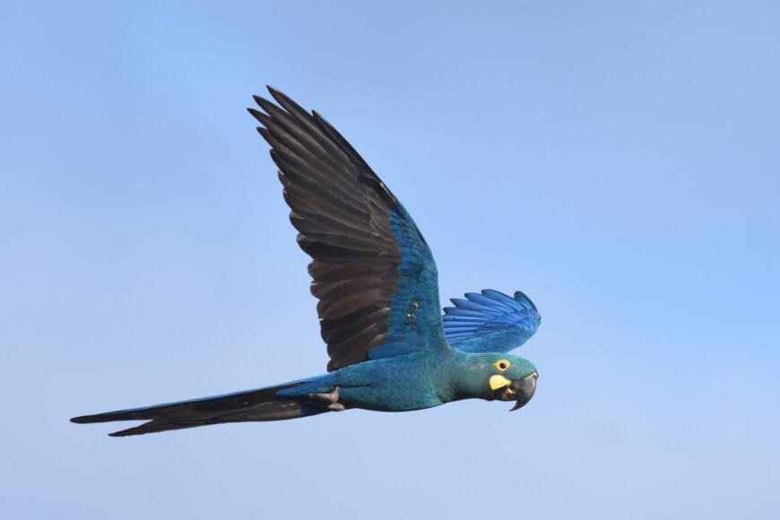 Uma das características que diferenciam a arara-azul-de-lear da arara-azul-grande é a coloração azul-esverdeada presente na cabeça e pescoço.
