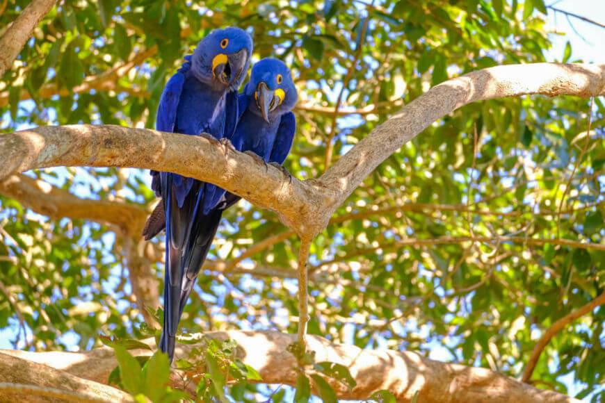 A arara-azul costuma viver em bandos de até vinte aves e, com seu companheiro, vive até a morte.