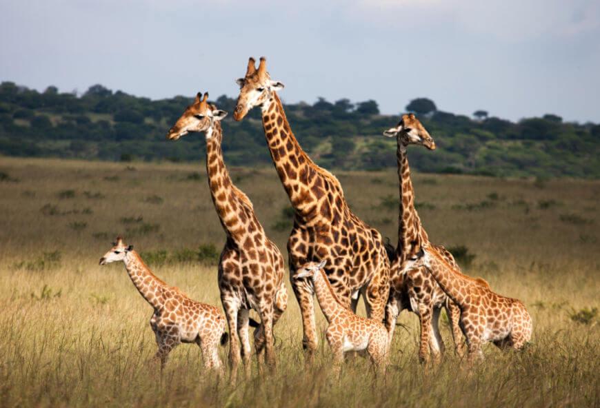 As girafas vivem, geralmente, em grupos, e os filhotes permanecem junto às mães até cerca de dois anos de idade.