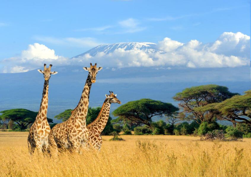 As girafas habitam as regiões de florestas e savanas africanas e são conhecidas, principalmente, por seu longo pescoço.