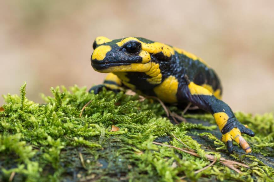 A salamandra-de-fogo apresenta como principal característica a pele negra com manchas amarelas e pontuações avermelhadas.