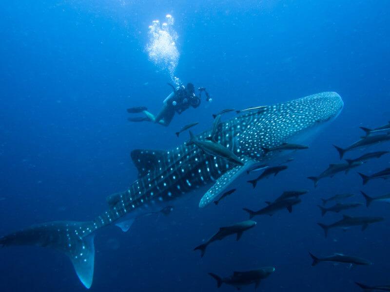 O tubarão-baleia é considerado o maior peixe existente. O maior indivíduo registrado apresentava 20 metros de comprimento