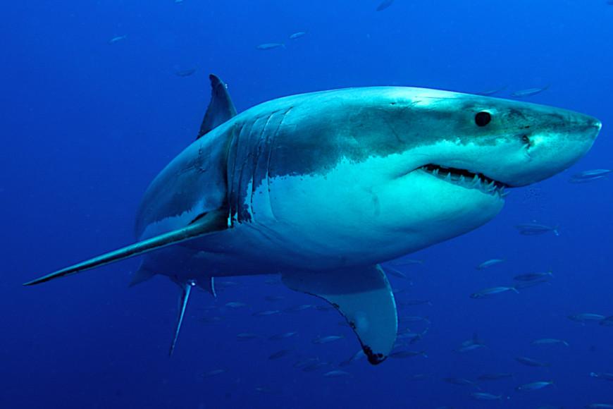 O tubarão-branco é um grande predador e pode chegar até 6 metros de comprimento.