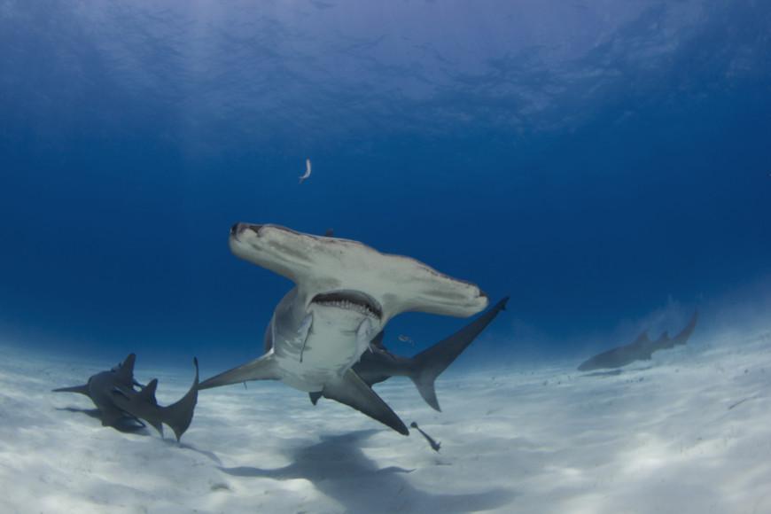 Existem diversas espécies de tubarão-martelo. Elas se caracterizam pelo formato achatado da cabeça.