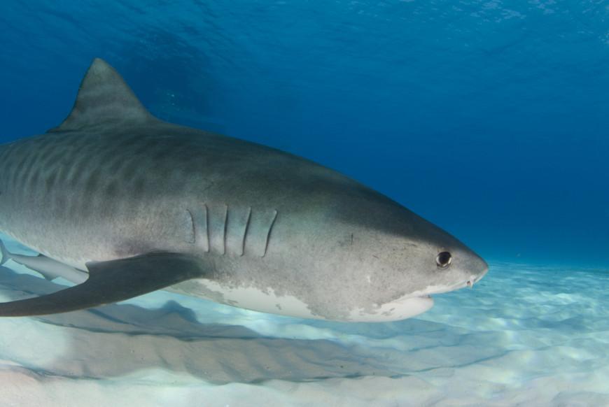 O tubarão-tigre é encontrado em diversas regiões do ambiente marinho, mas principalmente nadando a cerca de 100 m de profundidade.
