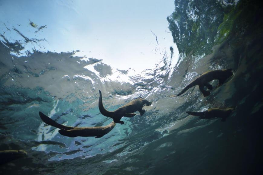 A ariranha habita ambientes de água doce e suas margens. Geralmente vive em grupos familiares com até 15 membros.