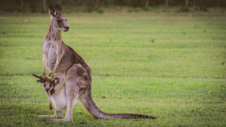O canguru-cinza-oriental pode ser encontrado em grandes grupos e apresenta um período gestacional de cerca de 36 dias.
