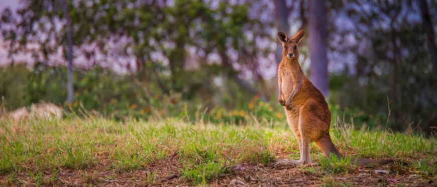 O canguru-vermelho pode ser encontrado em regiões áridas, entretanto buscam regiões onde ocorram chuvas, pois são dependentes da forragem verde.