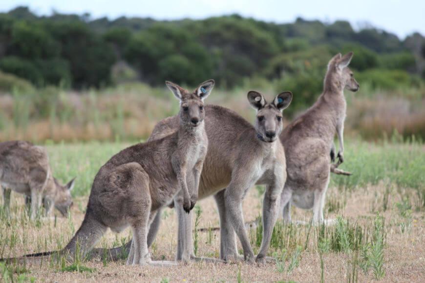 Os cangurus são animais pertencentes ao gênero Macropus e podem ser encontrados vivendo em pequenos e grandes grupos.