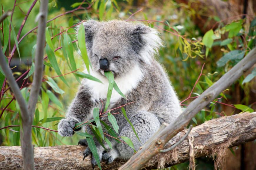 Os coalas são seletivos e alimentam-se, principalmente, de folhas de eucaliptos.