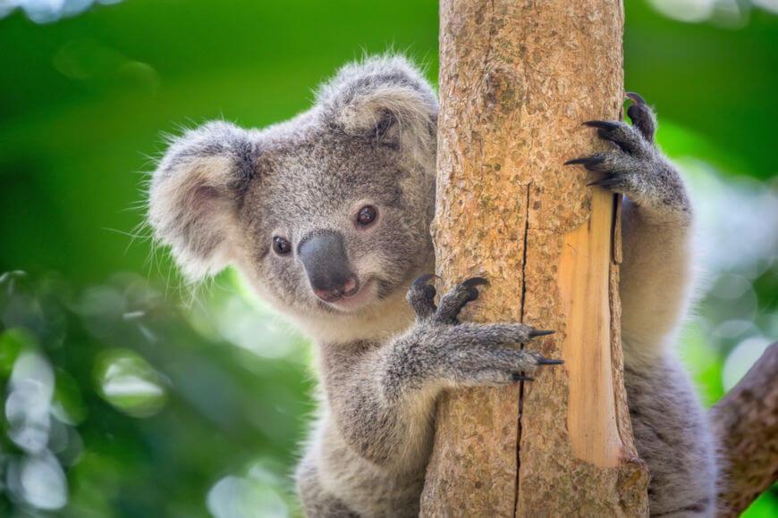 Os coalas passam a maior parte do tempo sobre as árvores e dormem cerca de dezoito horas por dia.