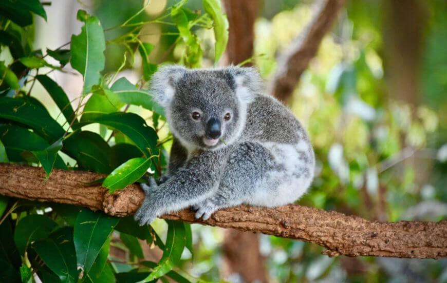 O coala é uma animal herbívoro e alimenta-se, principalmente, de folhas de eucalipto.