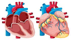 Desenho do coração