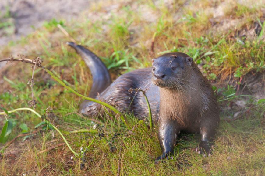 Embora semelhantes, a ariranha e a lontra-neotropical apresentam diferenças, como o tamanho e o peso.
