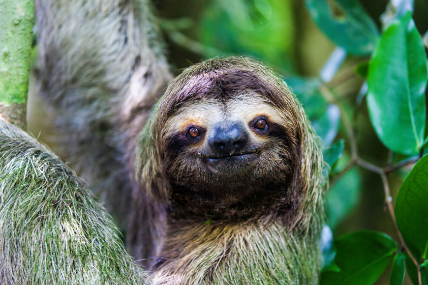O bicho-preguiça é um mamífero pertencente à ordem Pilosa, a mesma do tamanduá, e a duas famílias diferentes, a Bradypodidae e Megalonychidae.