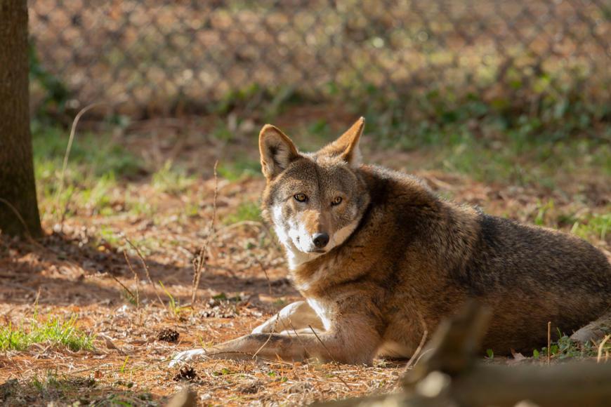 Em uma tentativa de preservar a espécie, indivíduos foram retirados da natureza e levados para cativeiro.