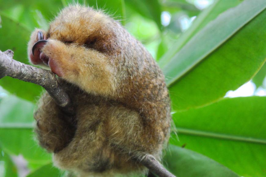 O tamanduaí é o menor de todos os tamanduás, apresentam cerca de 55 cm e pesam apenas 300 gramas