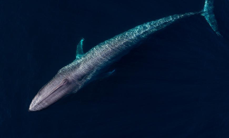 As baleias-azuis são encontradas, geralmente, nadando em regiões pelágicas.