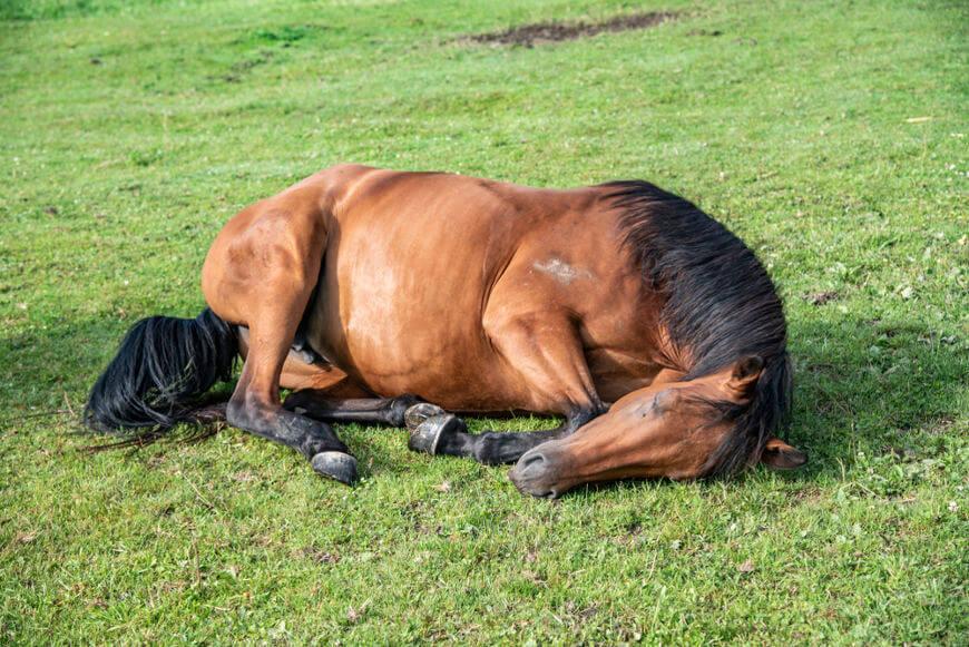 O cavalo, quando em sono profundo, deita-se completamente em total estado de relaxamento.