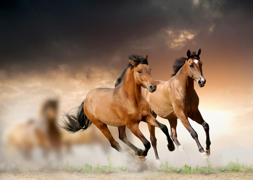 Um dos fatores que levaram à domesticação dos cavalos é o fato de esses percorrerem longas distâncias rapidamente.