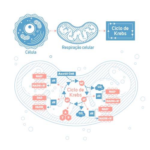 No ciclo do ácido cítrico, também conhecido como ciclo de Krebs, ocorre a oxidação completa da glicose.
