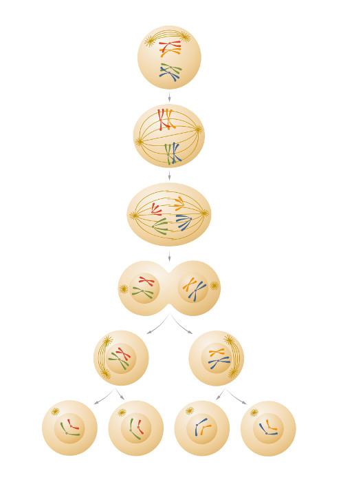 No processo de mitose, ocorrem duas divisões celulares e produzem-se, ao final, quatro células-filhas com metade dos cromossomos da célula parental.