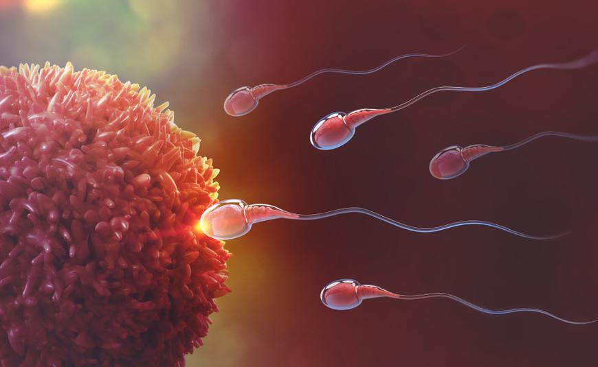 A gravidez, quando contada a partir do momento em que ocorre a fertilização do óvulo, dura 38 semanas.