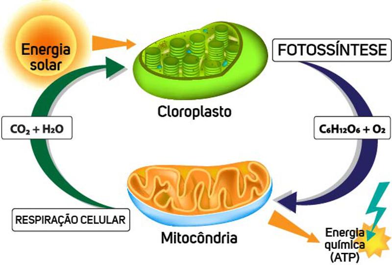 Os processos de respiração celular e fotossíntese estão interligados.