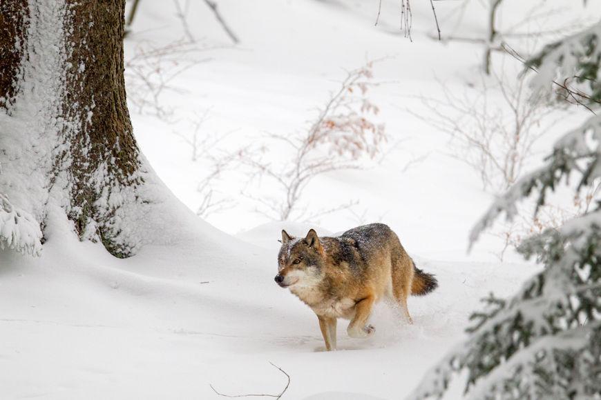 O lobo habita as mais diversas regiões do Hemisfério Norte.