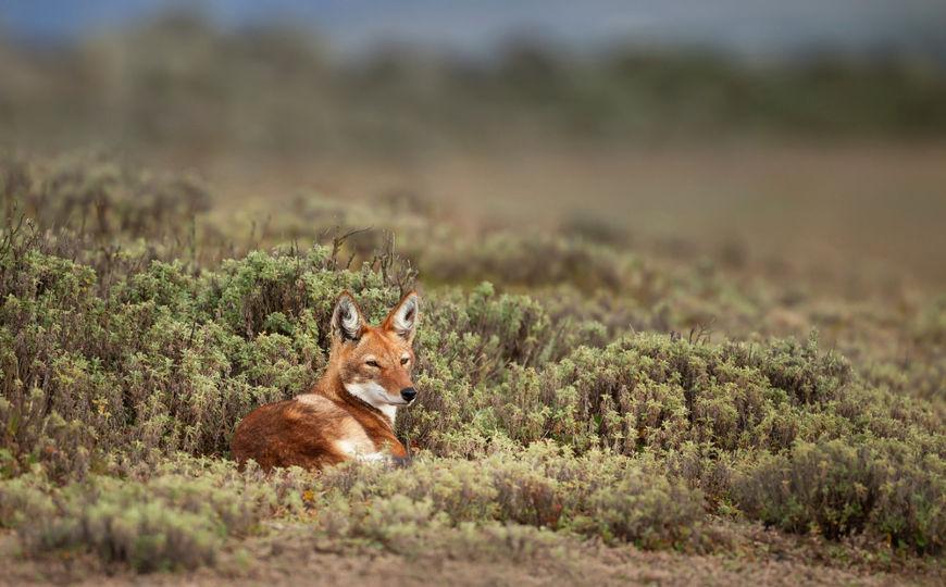A destruição de seu habitat e a transmissão de doenças, como a raiva canina, vêm causando o declínio das populações dessa espécie.