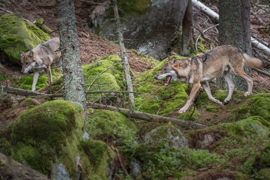 Após políticas de proteção, os lobos voltaram a ocupar diversas regiões onde não mais viviam.