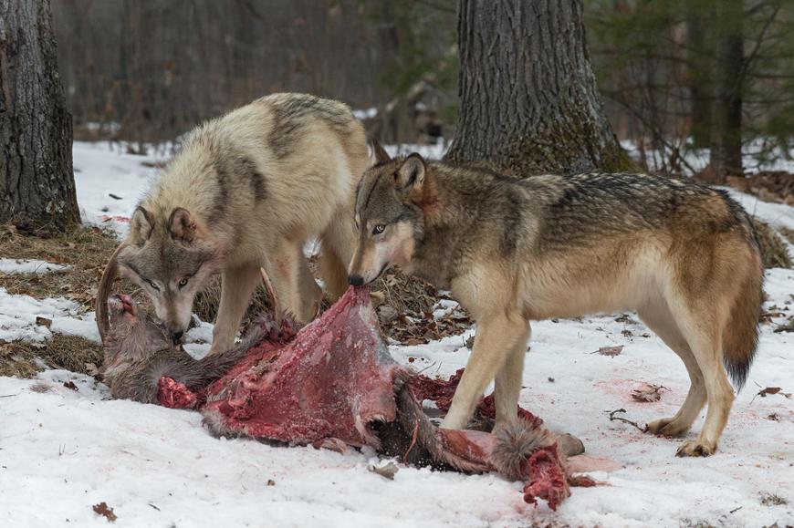 O lobo tem uma alimentação variada, podendo fazer parte de sua dieta animais selvagens e domésticos.