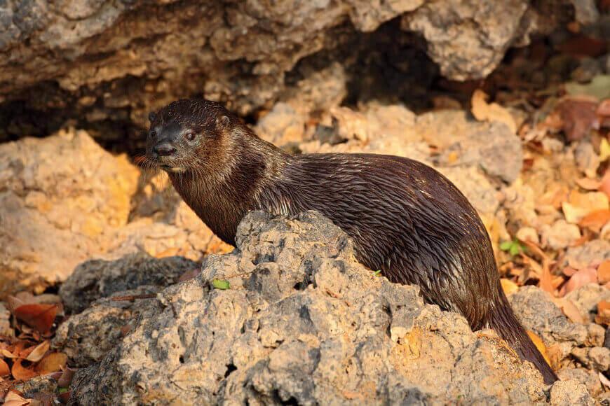 A lontra ou lontra-neotropical habita os mais diversos ambientes, desde costas rochosas a regiões de florestas.