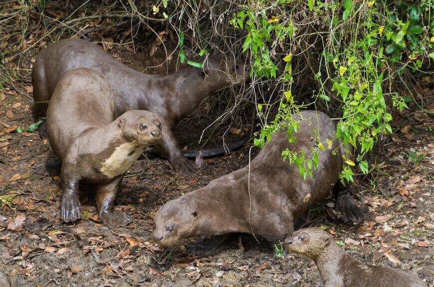 As lontras são animais que vivem em grupos familiares de até quinze indivíduos.