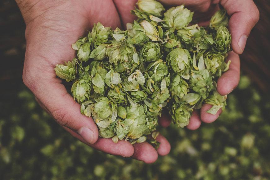 A maior parte do lúpulo cultivado nos dias atuais, cerca de 98%, é utilizada na fabricação de cerveja.