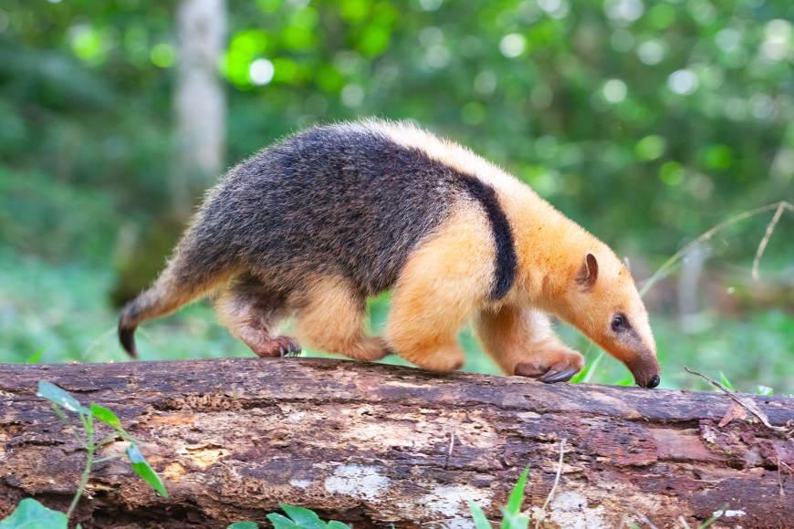 O tamanduá-mirim alimenta-se principalmente de cupins e formigas, entretanto, já foi observado alimentando-se de mel.