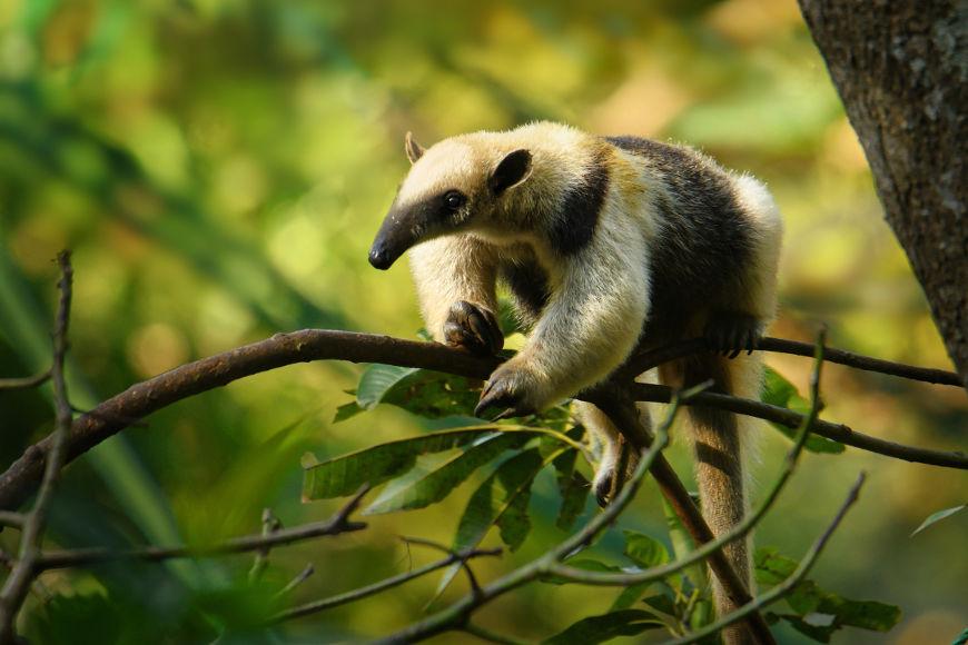 O tamanduá-do-norte é a única das quatro espécies conhecidas de tamanduá que não é encontrada no Brasil