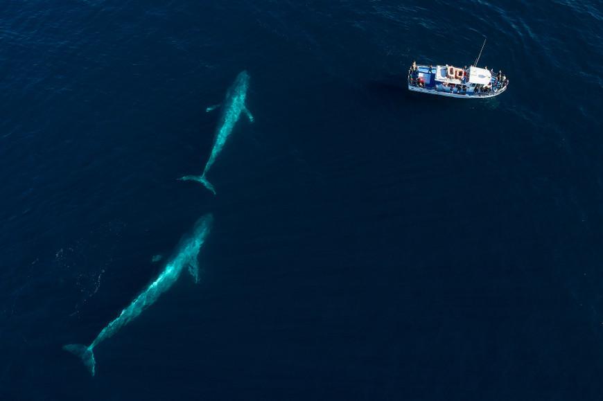 As baleias-azuis podem ser encontradas, ocasionalmente, aos pares.