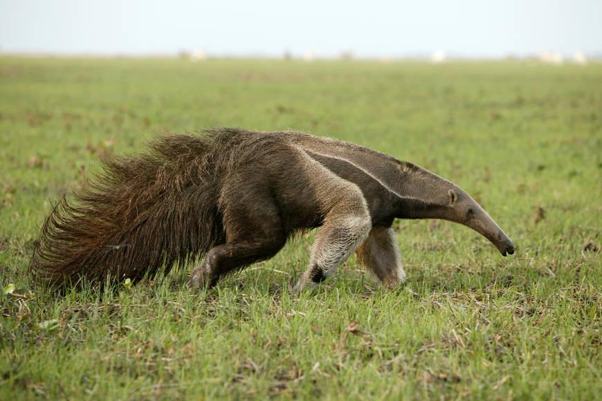 O tamanduá-bandeira habita regiões de florestas úmidas, secas, savanas e campos abertos.