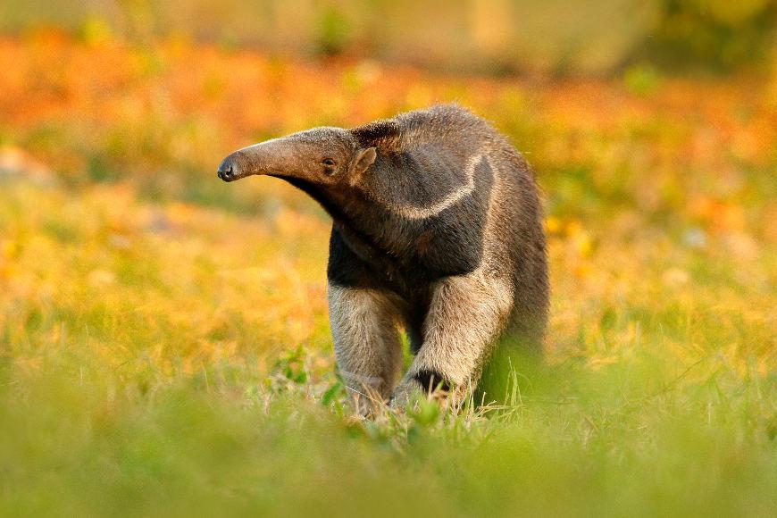 Tamanduá é o nome popular de um grupo de mamíferos da superordem Xenarthra. São conhecidas quatro espécies de tamanduás.