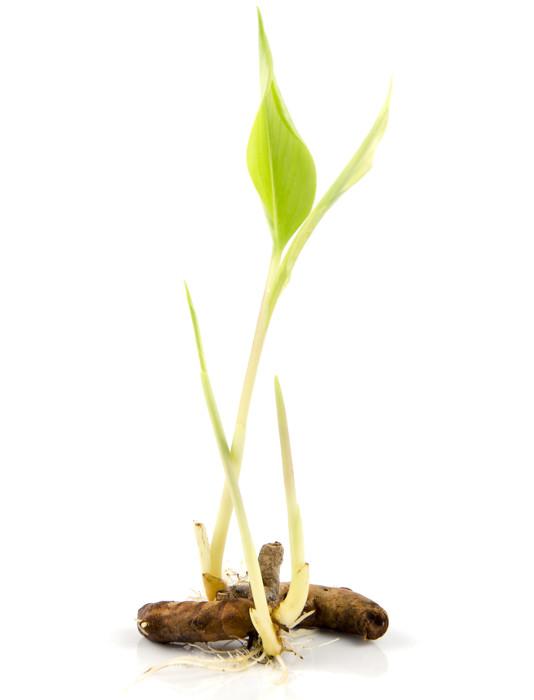 A cúrcuma apresenta folhas com coloração verde-clara e um rizoma central com ramificações.