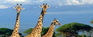 Girafas em savana