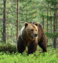 Urso na floresta