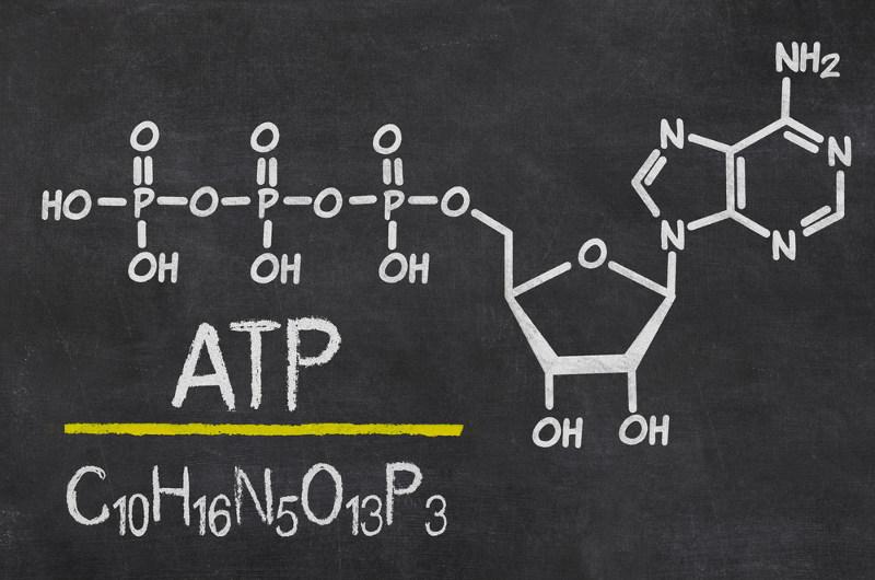 A molécula de ATP é constituída por uma ribose ligada à adenina e três grupos fosfato em série.