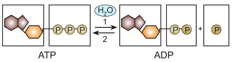 Após a hidrólise da ATP, essa molécula pode ser regenerada pela fosforilação da molécula de ADP.