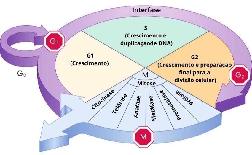 O ciclo celular pode ser dividido em duas grandes fases: a interfase e a mitose (divisão da célula).