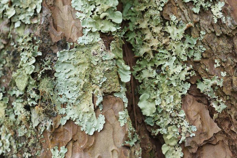 Os líquens são constituídos por uma associação entre alga ou cianobactéria e fungo, que vivem em uma relação de mutualismo.