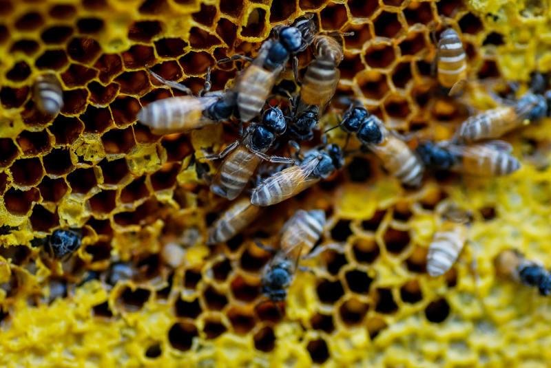 As abelhas vivem em uma relação de sociedade, em que os indivíduos vivem juntos e há uma divisão de trabalho entre seus componentes.