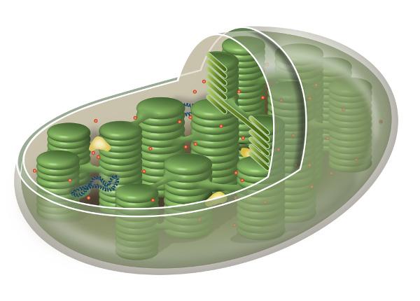 A fotossíntese ocorre nos cloroplastos, uma organela que, entre outras características, apresenta uma dupla membrana.