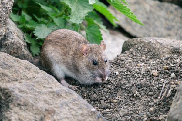 Os roedores silvestres são os principais transmissores da febre hemorrágica brasileira.